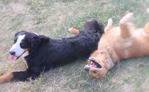 草原に寝転ぶ大型犬二匹