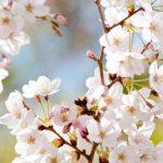 【五感で春を楽しむ】京都エリアの桜の見えるカフェまとめ