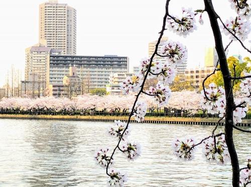 大川沿いの満開の桜景色の様子